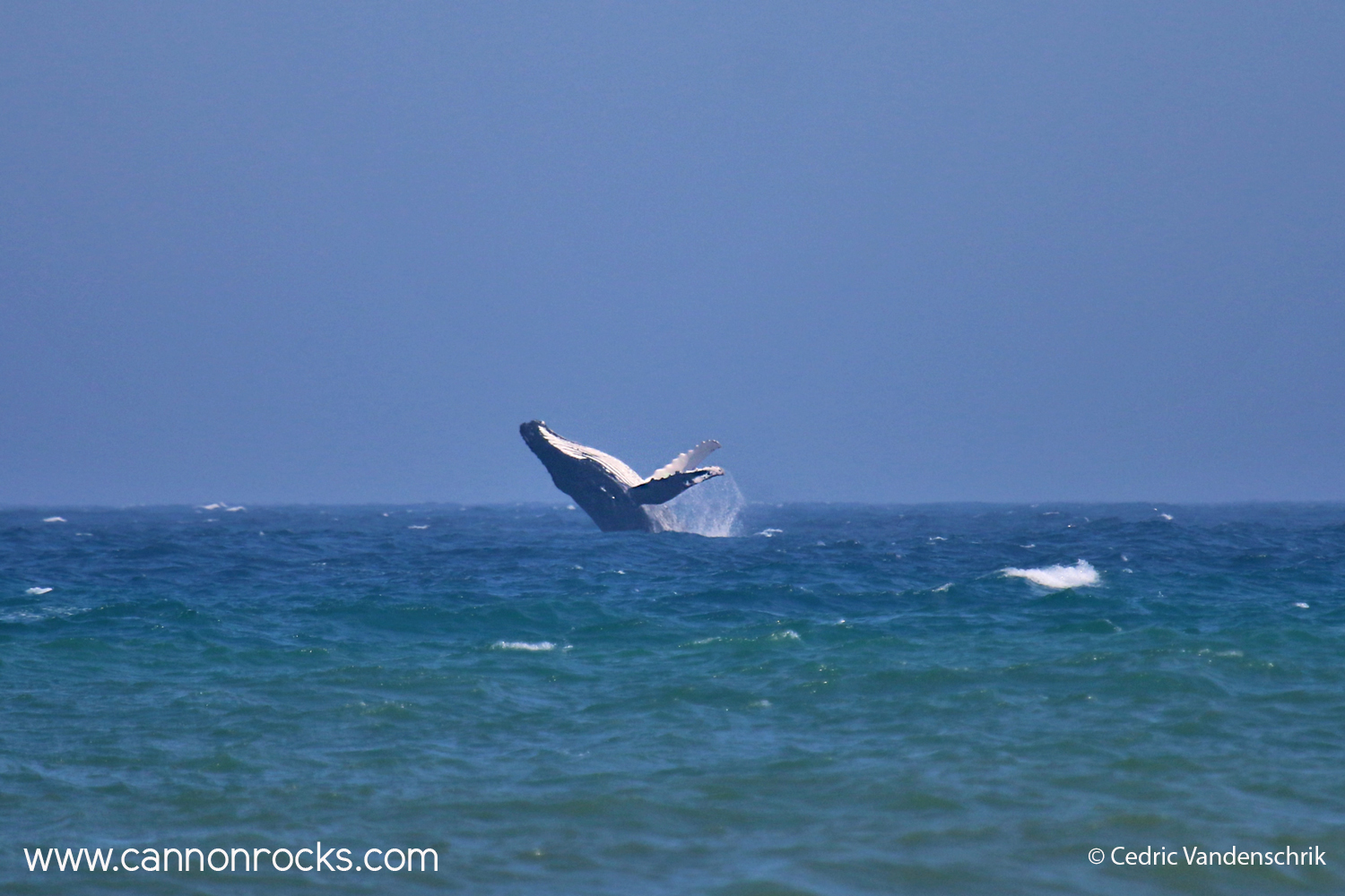 Whale Jumping in Cannon Rocks, South Africa